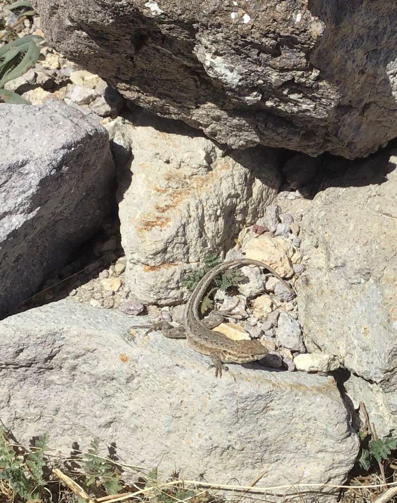 Rhyolite lizard